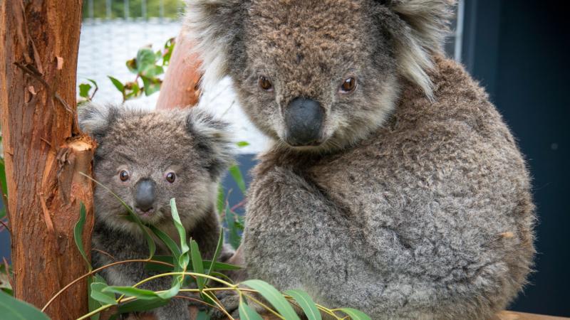 Erste Koalas erfolgreich ausgewildert