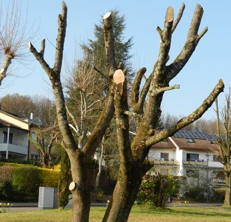 Baumschnitt: Pflege, Herumschnippeln oder Zerstörung?